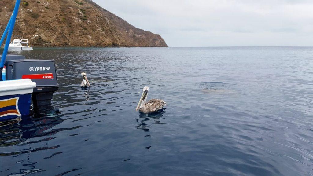 Pelikanen bij Isla de la Plata
