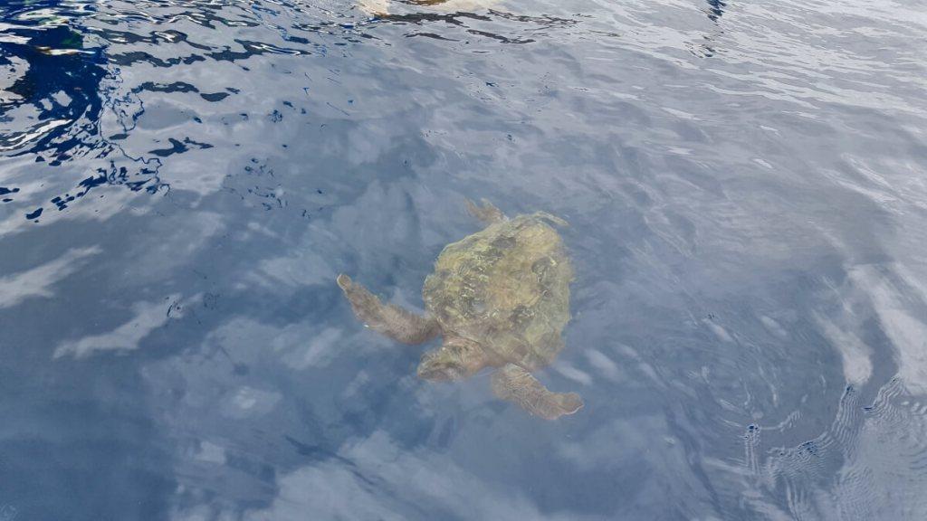 Zeeschildpad bij Isla de la Plata